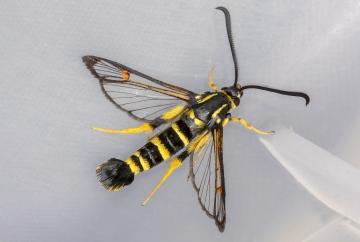 Yellow-legged Clearwing 15-09-2020 Copyright: Bill Crooks