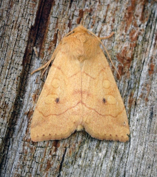 Angle-striped Sallow Copyright: Ben Sale