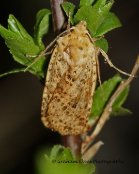 Dotted Chestnut  Conistra rubiginea Copyright: Graham Ekins