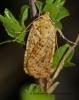 Dotted Chestnut  Conistra rubiginea Copyright: Graham Ekins