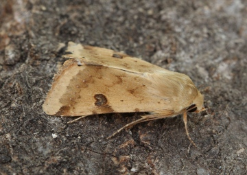 Bordered Straw   Heliothis peltigera  3 Copyright: Graham Ekins