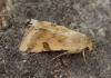 Bordered Straw   Heliothis peltigera  3 Copyright: Graham Ekins