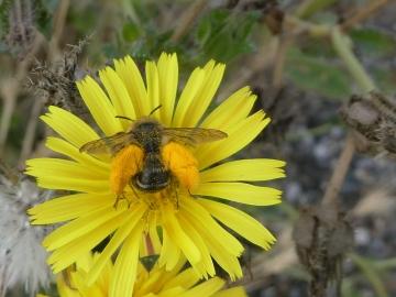 Pantaloon Bee Copyright: Alf Mullins