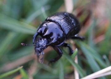 Minotaur beetle MGC Copyright: Robert Smith