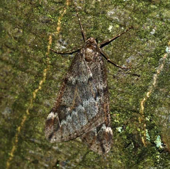 March Moth Copyright: Ben Sale
