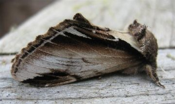 Lesser Swallow Prominent. Copyright: Stephen Rolls