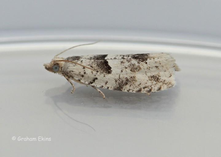 Epinotia bilunana Copyright: Graham Ekins