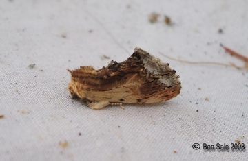 Maple Prominent 2 Copyright: Ben Sale