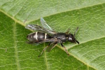 Microdynerus exilis 1 Copyright: P.R. Harvey