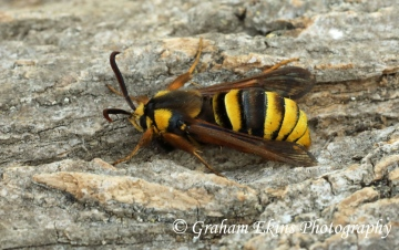 Sesia apiformis  Hornet Moth Copyright: Graham Ekins