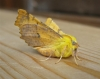 Canary Shouldered Thorn Copyright: Stephen Rolls