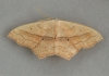 Small Blood-vein   Scopula imitaria Copyright: Graham Ekins