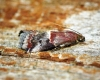 Acrobasis marmorea 3 Copyright: Ben Sale