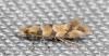 Phyllonorycter trifasciella 22-09-2020 Copyright: Bill Crooks