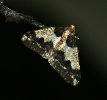 Agriopis leucophaearia (Spring Usher) Copyright: Ben Sale (2010)