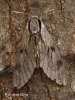 Pine Hawk-moth Copyright: Graham Ekins