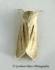 Simyra albovenosa     Reed Dagger Copyright: Graham Ekins