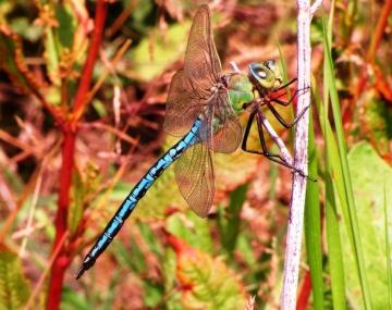 Emperor Dragonfly 2 Copyright: Graham Smith
