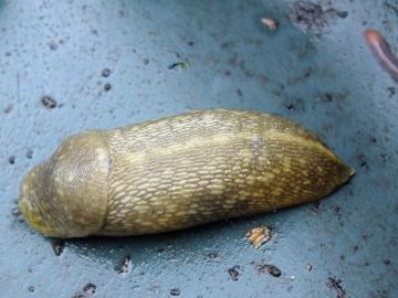 Yellow Slug 2 Copyright: Peter Pearson