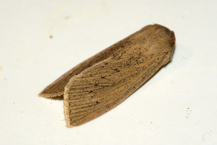 Large Wainscot 3 Copyright: Ben Sale