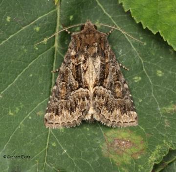 Thalpophila matura  Straw Underwing 2 Copyright: Graham Ekins