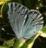 Holly Blue (2) Copyright: Justin Carroll