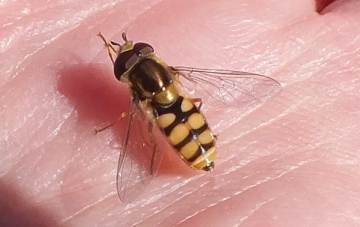 Newly emerged hoverfly Copyright: Peter Pearson