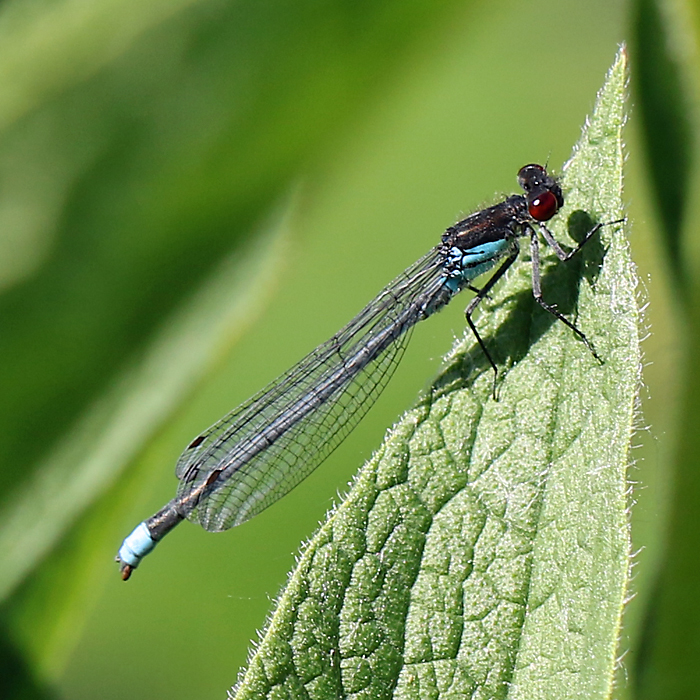 Red-eyed Damselfly Erythromma najas Copyright: Geoff Vowles