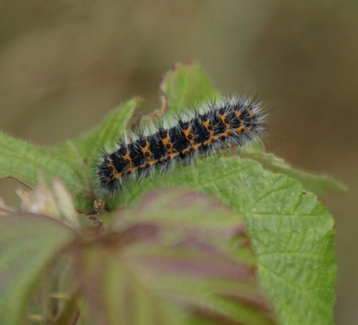 Emperor larva 3rd instar Copyright: Robert Smith