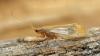 Limnephilus flavicornis 2 Copyright: Graham Ekins
