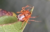 Ero tuberculata female2 Copyright: Peter Harvey