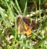 Orange U - basking Copyright: Robert Smith