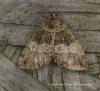 Hydriomena impluviata  May highflyer Copyright: Graham Ekins