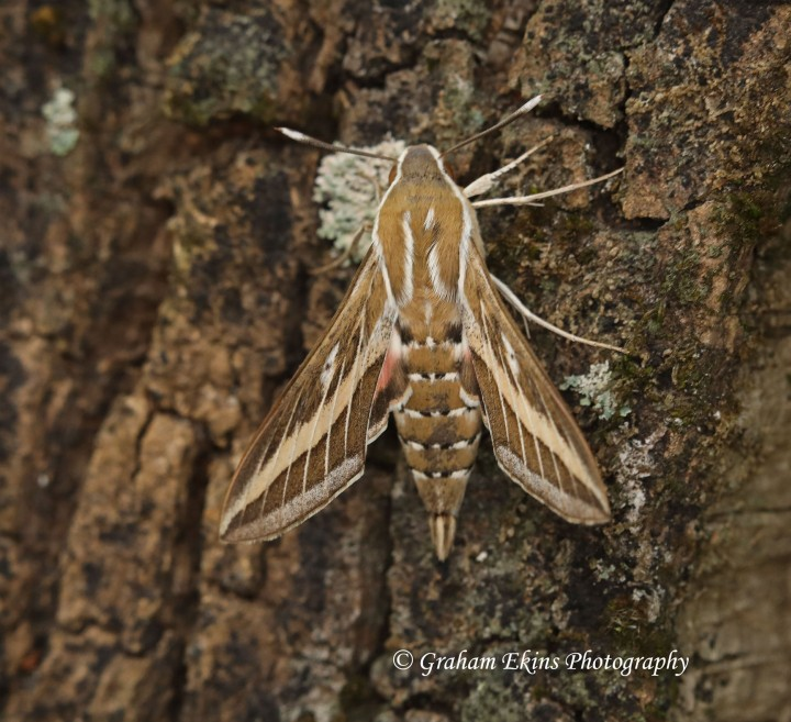 Striped hawk-moth  Hyles livornica 2 Copyright: Graham Ekins