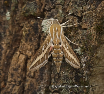 Striped hawk-moth  Hyles livornica 2 Copyright: Graham Ekins