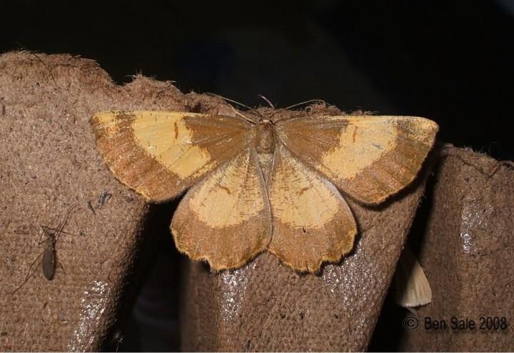 Orange Moth F. corylaria Copyright: Ben Sale