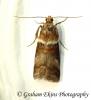 Acrobasis tumidana 5 Copyright: Graham Ekins