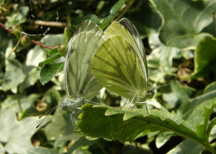 Green veined whites mating Copyright: Sue Grayston