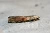 Bee Moth (Aphomia sociella) 2 Male Copyright: Ben Sale