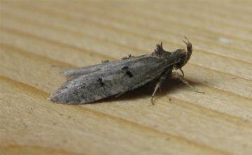 Luquetia lobella. Copyright: Stephen Rolls