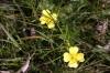 Rosy Marbled foodplant - Tormentil Copyright: Ben Sale