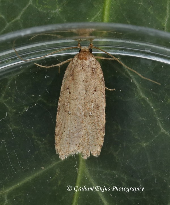Agonopterix ciliella 2 Copyright: Graham Ekins