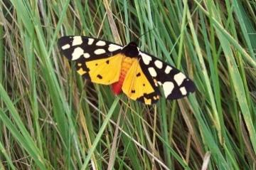 Cream Spot Tiger Moth Copyright: Graham Smith