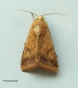 Helicoverpa armigera   Scarce Bordered Straw 1 Copyright: Graham Ekins