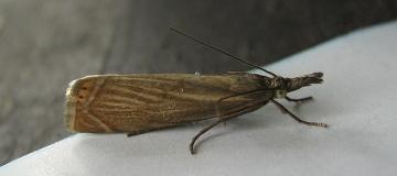 Chrysoteuchia culmella. Copyright: Stephen Rolls
