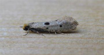Tinea trinotella Copyright: Stephen Rolls