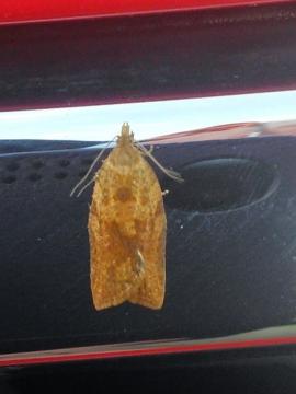Light Brown Apple Moth (female) Copyright: Peter Pearson