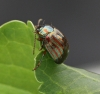 Chrysolina americana  (Rosemary Beetle) Copyright: Graham Ekins