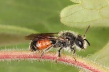 Andrena labiata male Copyright: Peter Harvey