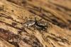 Salticus zebraneus male Copyright: Peter Harvey